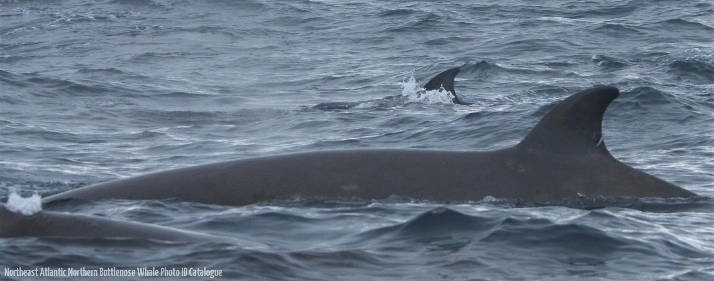 Whale ID: 0016,  Date: 03-07-2013,  Photographer: Paul H. Ensor