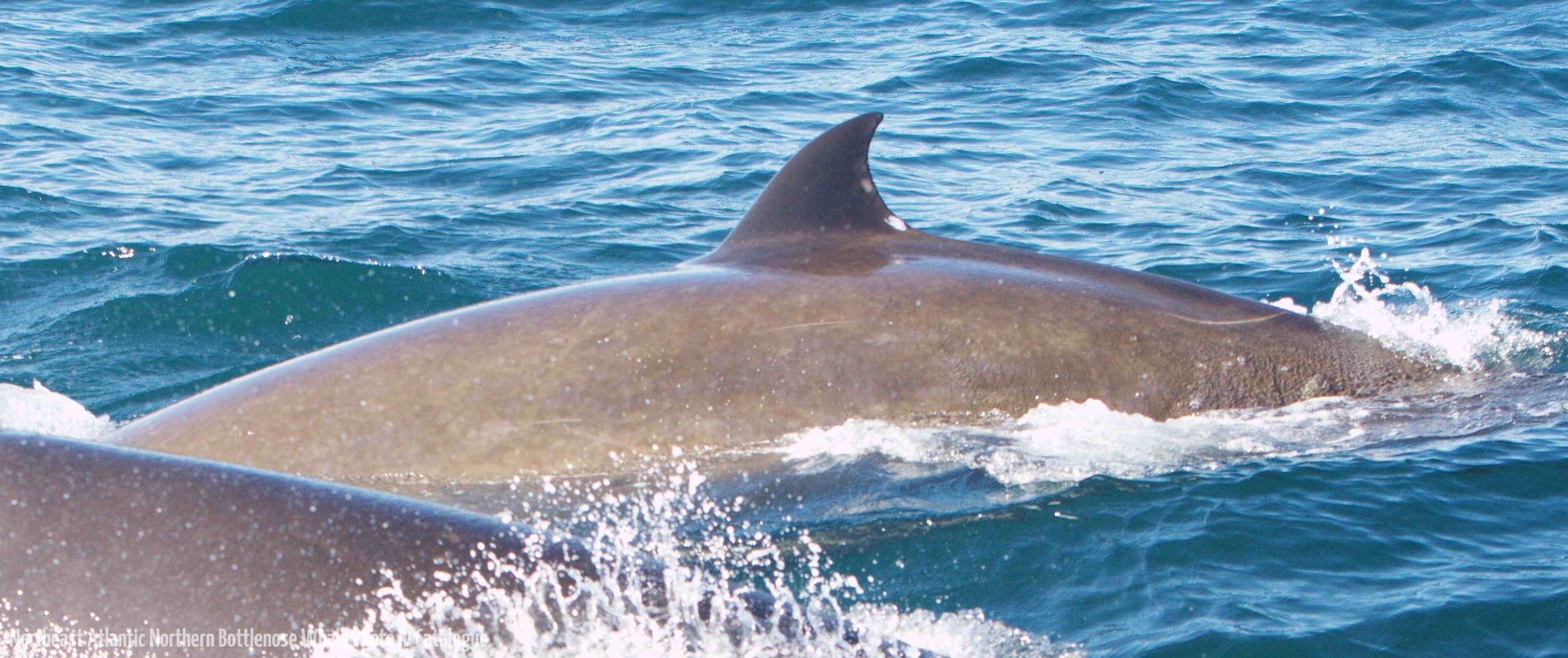 Whale ID: 0053,  Date: 15-06-2014,  Photographer: Saana Isojunno