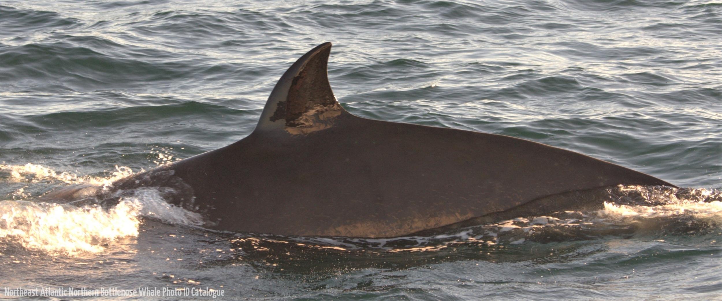 Whale ID: 0070,  Date: 15-06-2015,  Photographer: Joanna L. Kershaw