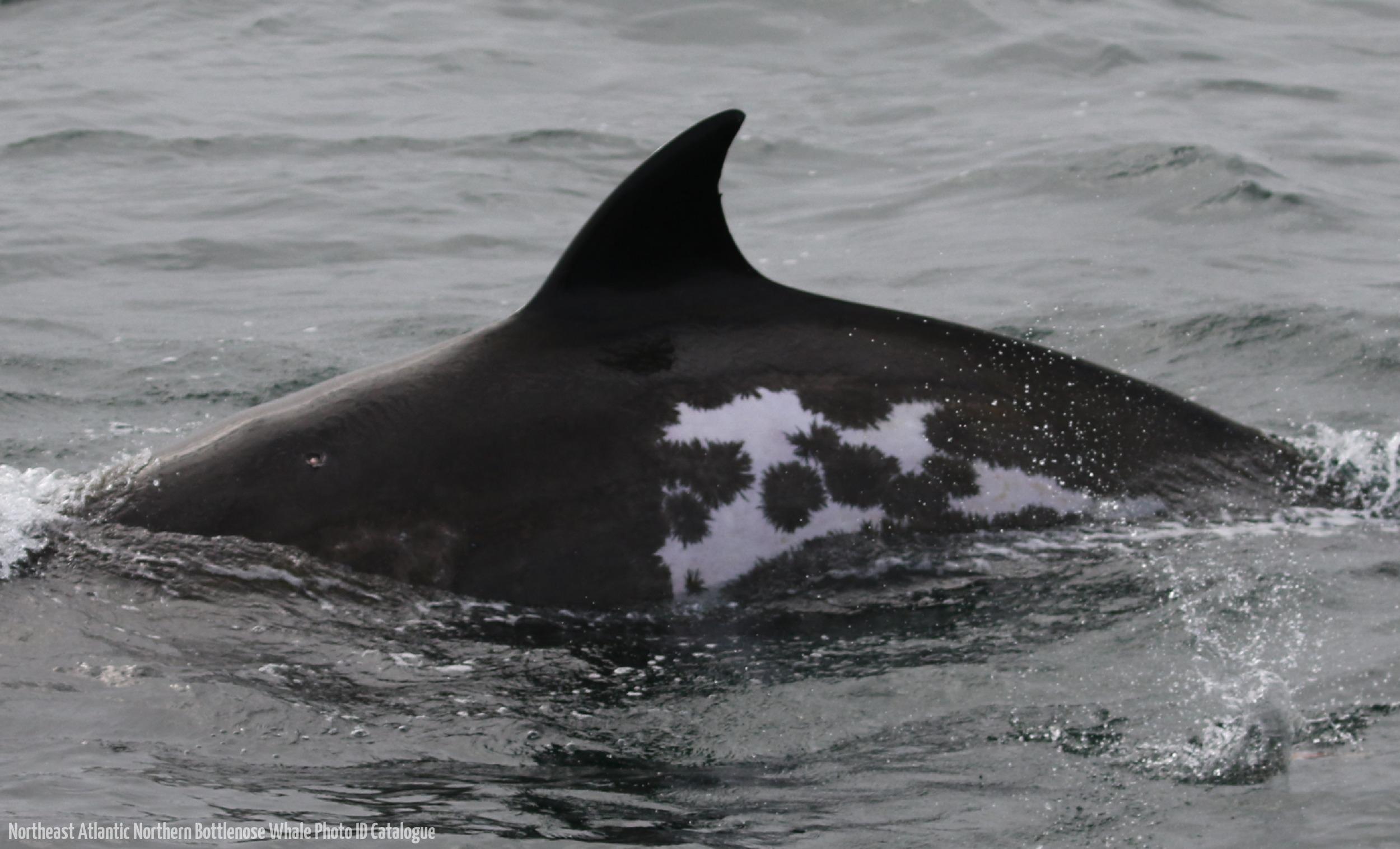 Whale ID: 0133,  Date: 06-06-2016,  Photographer: Eilidh Siegal