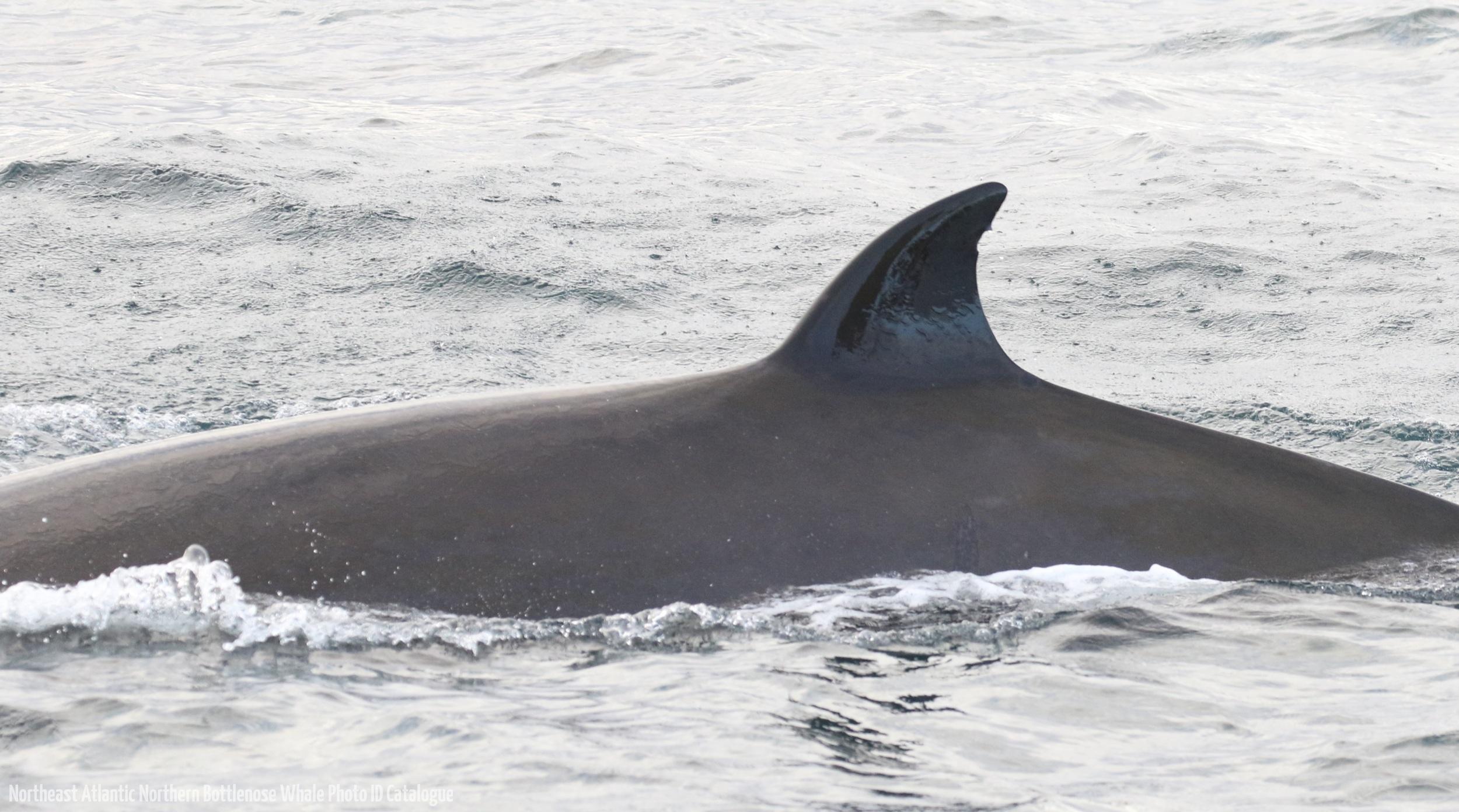 Whale ID: 0172,  Date: 16-06-2016,  Photographer: Eilidh Siegal