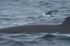 Whale ID: 0016,  Date: 03-07-2013,  Photographer: Paul H. Ensor
