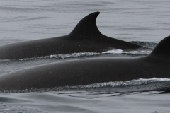 Whale ID: 0025,  Date: 10-07-2013,  Photographer: Paul H. Ensor