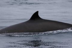 Whale ID: 0032,  Date: 10-06-2014,  Photographer: Lucia M. Martín López