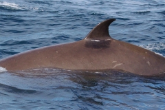 Whale ID: 0040,  Date: 12-06-2014,  Photographer: Lucia M. Martín López