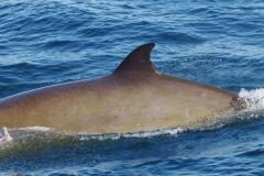 Whale ID: 0044,  Date: 12-06-2014,  Photographer: Lucia M. Martín López