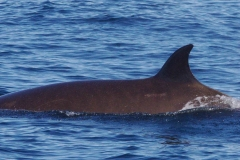 Whale ID: 0047,  Date: 12-06-2014,  Photographer: Lucia M. Martín López