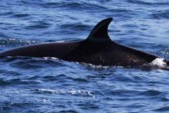 Whale ID: 0051,  Date: 14-06-2014,  Photographer: Lucia M. Martín López