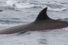 Whale ID: 0061,  Date: 23-06-2014,  Photographer: Kagari Aoki