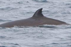 Whale ID: 0063,  Date: 23-06-2014,  Photographer: Kagari Aoki