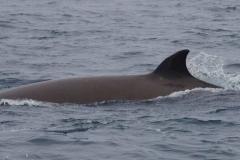 Whale ID: 0067,  Date: 24-06-2014,  Photographer: Lucia M. Martín López