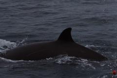 Whale ID: 0064,  Date: 24-06-2014,  Photographer: Joanna L. Kershaw