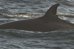 Whale ID: 0068,  Date: 15-06-2015,  Photographer: Tomoko Narazaki