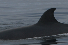 Whale ID: 0077,  Date: 16-06-2015,  Photographer: Unknown/project camera