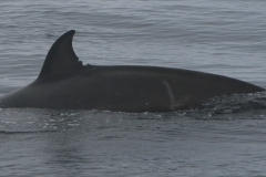 Whale ID: 0074,  Date: 16-06-2015,  Photographer: Unknown/project camera