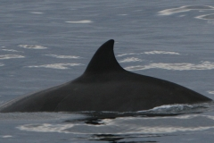 Whale ID: 0084,  Date: 18-06-2015,  Photographer: Unknown/project camera