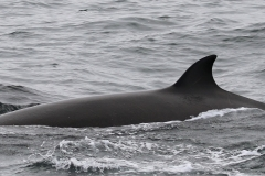 Whale ID: 0135,  Date: 06-06-2016,  Photographer: Eilidh Siegal