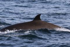 Whale ID: 0134,  Date: 06-06-2016,  Photographer: Eilidh Siegal