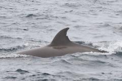 Whale ID: 0146,  Date: 09-06-2016,  Photographer: Eilidh Siegal