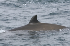 Whale ID: 0159,  Date: 14-06-2016,  Photographer: Miguel Neves dos Reis