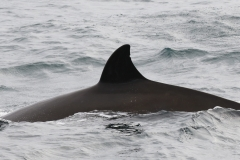 Whale ID: 0160,  Date: 15-06-2016,  Photographer: Naomi Boon