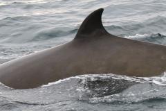Whale ID: 0165,  Date: 15-06-2016,  Photographer: Naomi Boon
