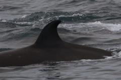 Whale ID: 0173,  Date: 16-06-2016,  Photographer: Eilidh Siegal