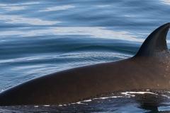Whale ID: 0180,  Date: 17-06-2016,  Photographer: Naomi Boon