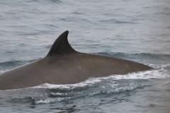 Whale ID: 0184,  Date: 18-06-2016,  Photographer: Eilidh Siegal