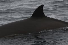 Whale ID: 0190,  Date: 19-06-2016,  Photographer: Eilidh Siegal