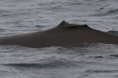Whale ID: 0193,  Date: 20-06-2016,  Photographer: Eilidh Siegal