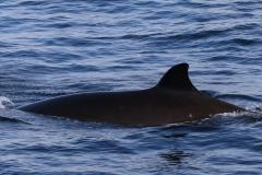 Whale ID: 0211,  Date: 21-06-2016,  Photographer: Eilidh Siegal