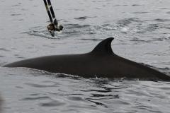 Whale ID: 0197,  Date: 21-06-2016,  Photographer: Eilidh Siegal