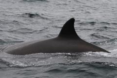 Whale ID: 0204,  Date: 21-06-2016,  Photographer: Eilidh Siegal