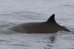 Whale ID: 0206,  Date: 21-06-2016,  Photographer: Eilidh Siegal