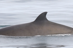 Whale ID: 0199,  Date: 21-06-2016,  Photographer: Naomi Boon