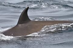 Whale ID: 0194,  Date: 21-06-2016,  Photographer: Naomi Boon