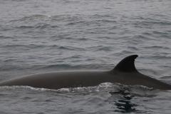 Whale ID: 0219,  Date: 25-06-2016,  Photographer: Naomi Boon